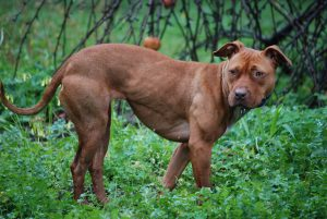 merican_Pit_Bull_Terrier in forest
