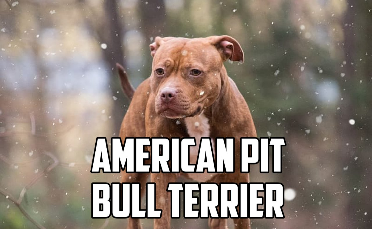 American Pit Bull Terrier breed cover image