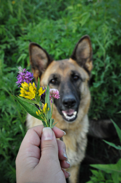 Giving a flower to a German Shepherd Dog