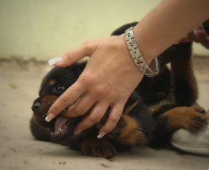 A puppy biting a human hand