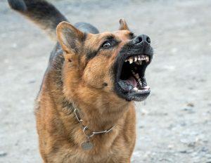 German shepherd barking