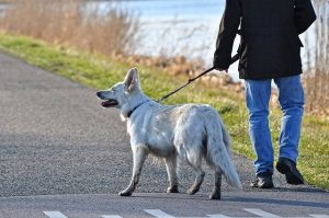 Leash training a dog
