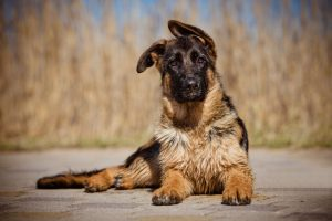 german shepherd floppy ears featured image