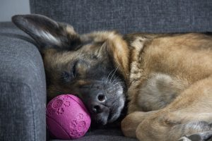 German shepherd Sleeping in a sofa
