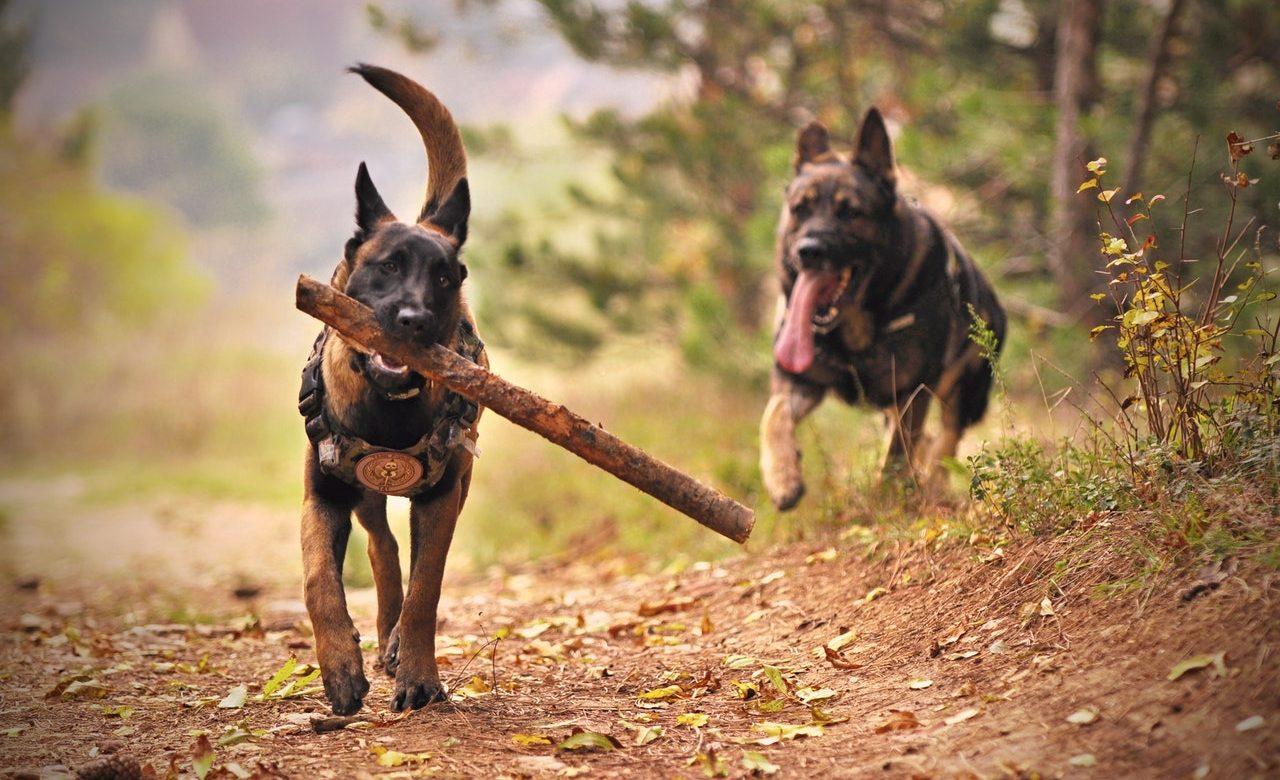 german shepherd training commands List Featured Image