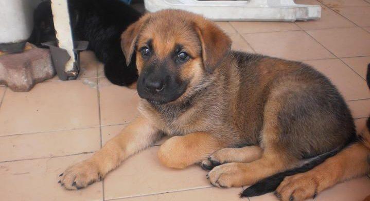 Mastiff Shepherd Puppy