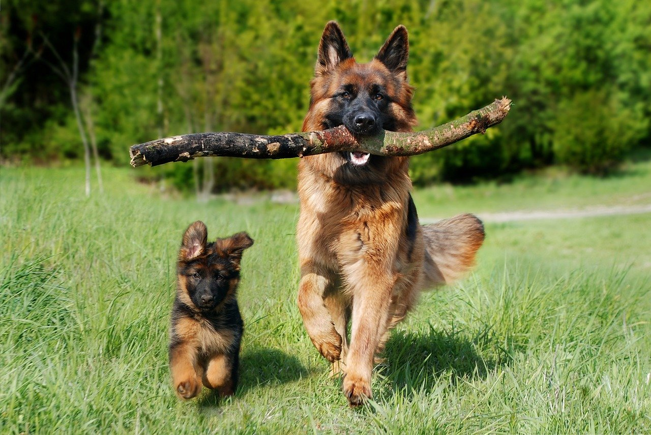 German shepherd protection training cover image